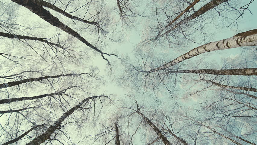 Tops of the trees in winter forest. Rotation of the sky.