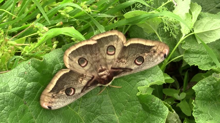 Saturnia pyri, the giant peacock moth, also called the great peacock moth, giant emperor moth, or Viennese emperor