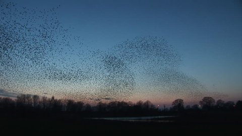 Shapes in the sky as starlings flock in great numbers at winter in England
