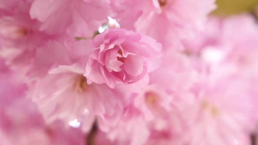 Beautiful festive paper flowers hanging stock footage video 100 sakura spring flowers spring blossom background beautiful nature scene with blooming sakura tree over mightylinksfo