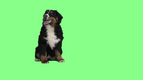 Bernese mountain dog sitting on a green background