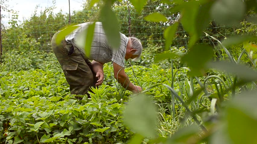 gardener collects ripe strawberries in the garden, the farmer harvests ripe berries