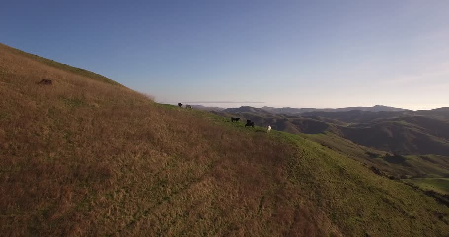 Push Lower Push cows on a hill, Aerial, 4K, 27s, 6of7, Cows, Farming, Ranching, farm, Reveal, Stock Video Sale - Drone Discoveries llc..mov   Shutterstock HD Video #24244889