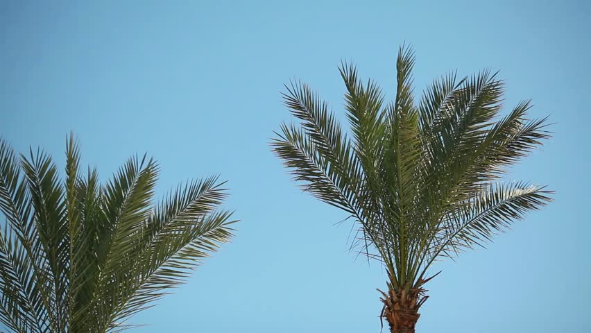 Video 1080p - Swaying palm tree against the blue sky | Shutterstock HD Video #24265295