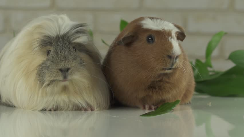 Two guinea pigs talk as the announcers on television humor slow motion stock footage video