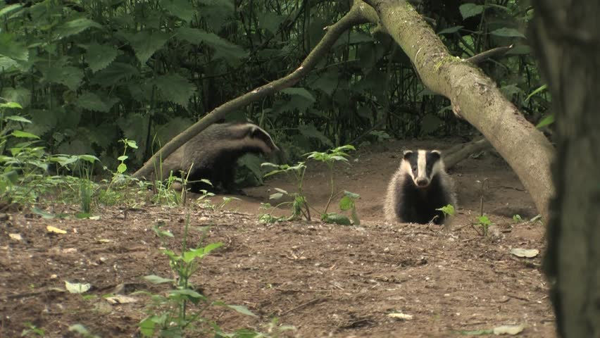 Young badger cleaning himself - wildlife