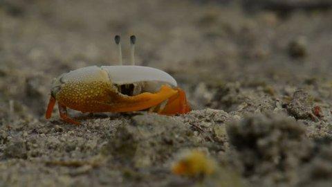 fiddler crab bohol