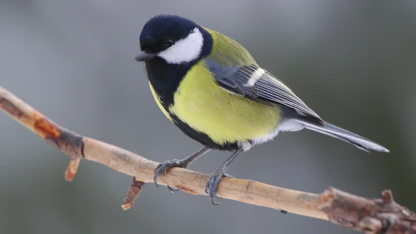 animal great tit bird perched on branch beautiful winter light close up slow motion turn around fly away