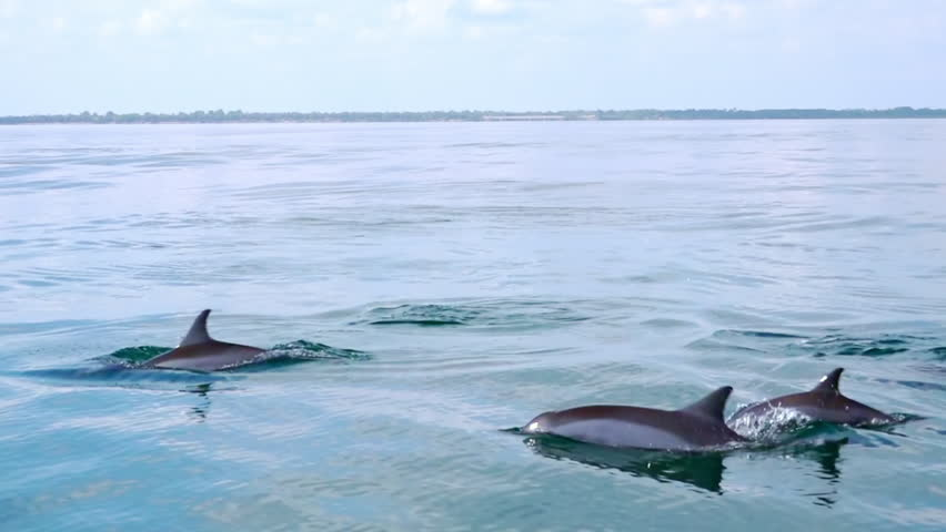 Big group of porpoising Spinner Dolphins (Stenella longirostris). Gorgeous marine mammals swimming and breaching off. Sea animals movement and migration concept. Sri Lanka. Side view. Slow motion. | Shutterstock HD Video #24512249