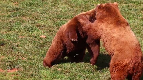 Bears fighting in Cabarceno Natural Park