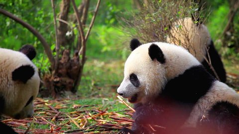 Two Chinese pandas eat bamboo, wildlife.