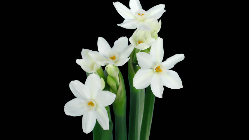 Stock video of time-lapse of opening narcissus paperwhite flowers ...