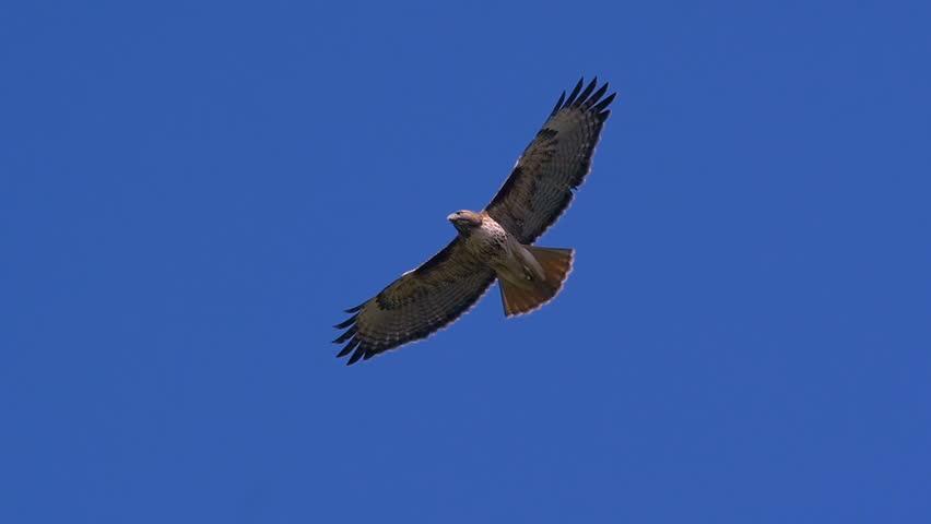 Red Tail Hawk Hovering In Flight 600mm Lens