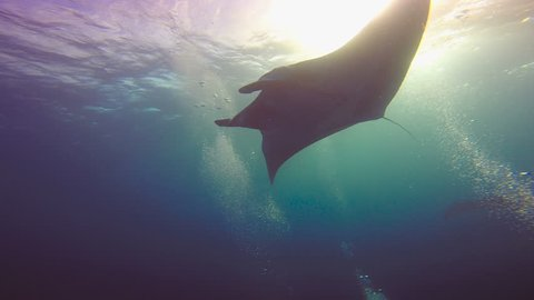 Amazing diving with the big manta rays off Socorro island. Of the Pacific ocean. Mexico.