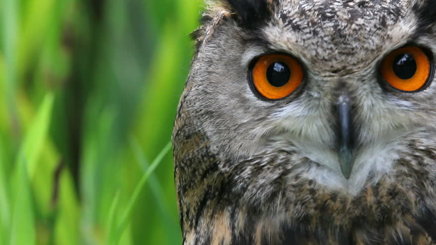 Owl, close-up | Shutterstock HD Video #2464889