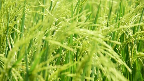 Green field with rice stalks swaying in the wind blows.