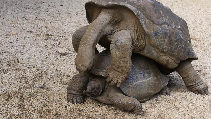 Two giant turtles, dipsochelys gigantea making love in La Vanille Nature Park, island Mauritius. Copulation is a difficult endeavour for these animals, as the shells make mounting extremely awkward