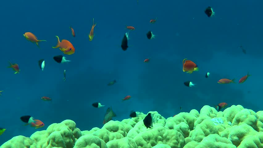 Many fish Lyretail Anthias (Pseudanthias squamipinnis) swim above the stony coral, medium shot. | Shutterstock HD Video #24718619