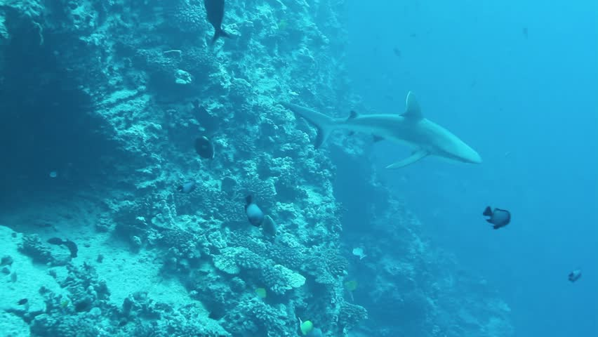 Galapagos shark circles around a rock to be cleaned by small cleaner wrasses, Maui, Molokini