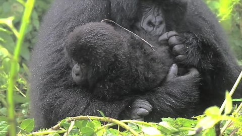 The Critically Endangered Mountain Gorilla Seen Here Caring for her Newborn Baby in Virunga Mountains, Rwanda. This is the Susa Group, which was studied by Dian Fossey.