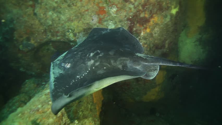 pacific sting ray swimming in underwater arch, poor knights island, new zealand