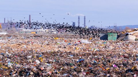 Flock of scavenging birds on a landfill site with piles of garbage.