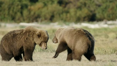 HD Two Grizzly Bears Mating dance and play fighting in a field