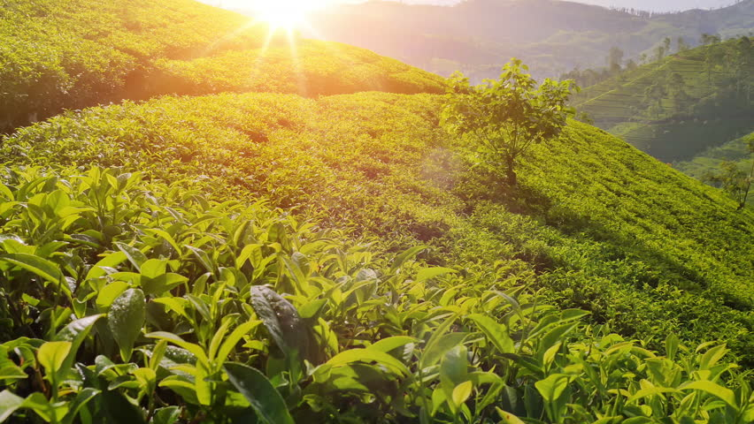 Majestic view of sun light shines on tea plant leaves. Nuwara Eliya plantation fields on hill slopes. Beautiful Sri Lanka nature landscapes #24941519