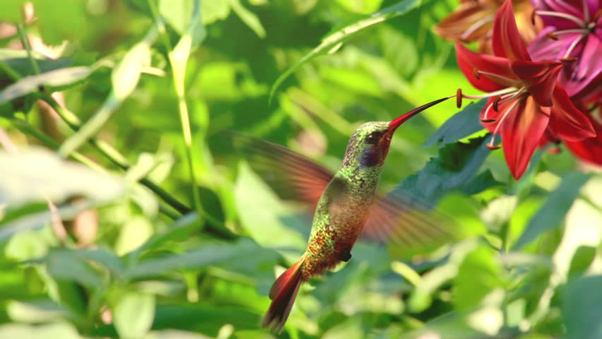 Humming bird, beautiful 3d animation | Shutterstock HD Video #2501267