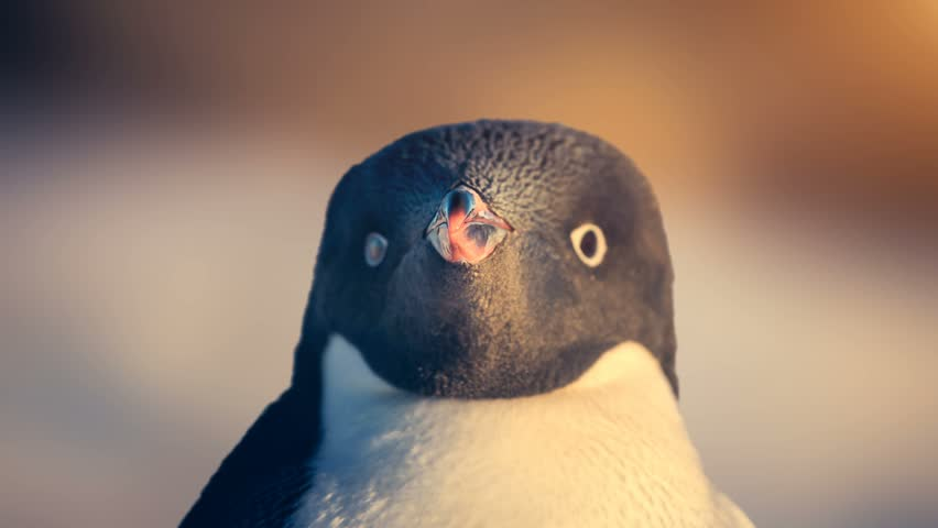 Antarctic Wildlife. Black and white penguin looking at camera, portrait close up. Exploring beauty world, holidays and recreation. Travel background. Slow motion 4K footage