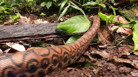 Rainbow boa (Epicrates cenchria) crawling on the rainforest floor, Ecuador