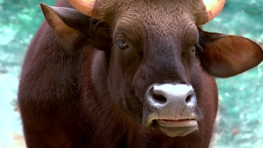 Cow Eyelashes Stock Video Footage 4k And Hd Video Clips Shutterstock
