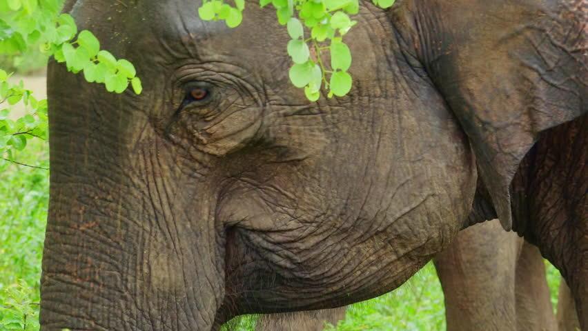 Asian elephant head