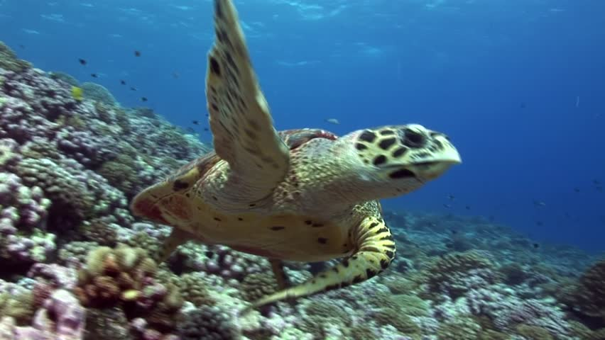 Hawksbill Turtle swimming on a coral reef looking for food