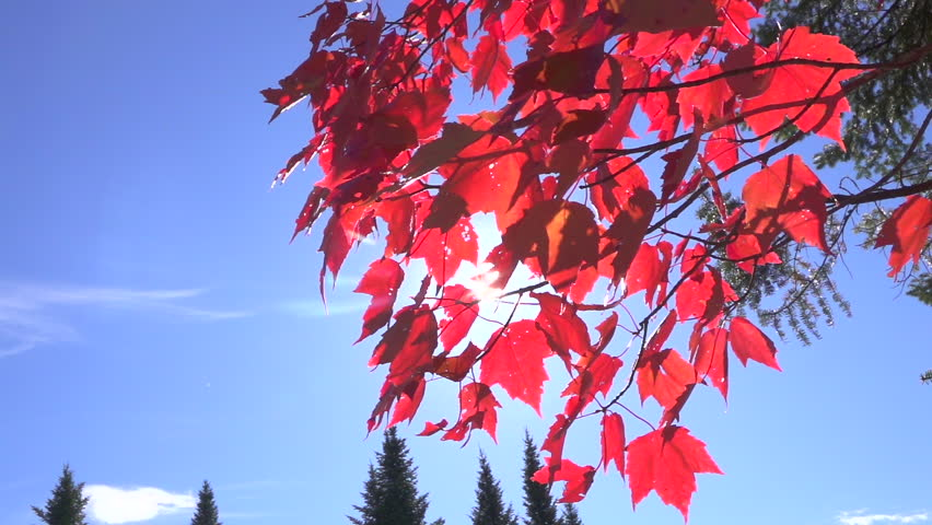 SLOW MOTION, CLOSE UP: Sunbeams shining through red maple tree fall foliage leaves on twigs on small branch against clear blue sky. Spruce treetops piercing the skies on sunny autumn day in Canada
