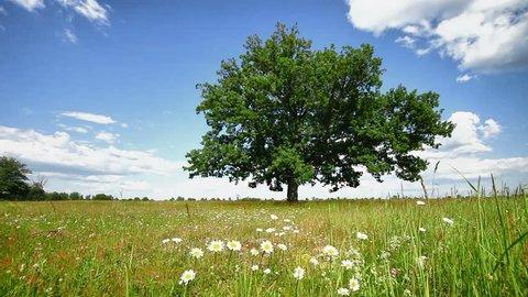 1920x1080 hidef, hdv - Lone oak tree on a summer meadow