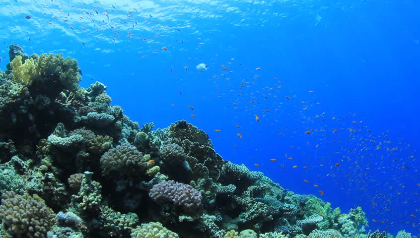 Coral Reef scene with numerous tropical fish coming into the frame | Shutterstock HD Video #2526050