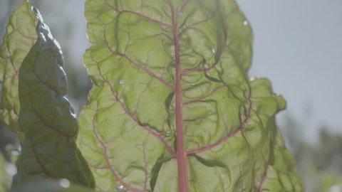Rhubarb fresh farm produce