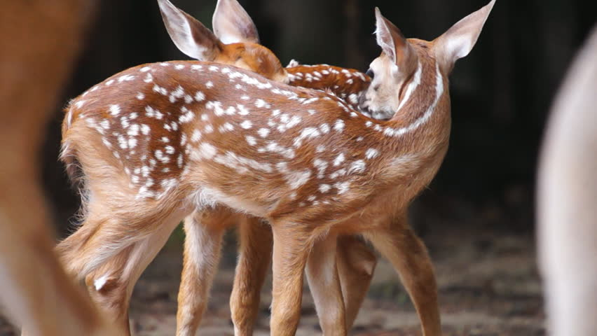 Whitetail Deer twin fawns, slow motion, 1/2 natural speed