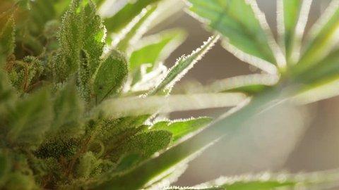 ECU macro shot ripe marijuana bud showing trichomes/crystals, tilt up slowly