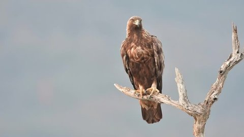 Golden eagle sitting on a branch, looking for prey