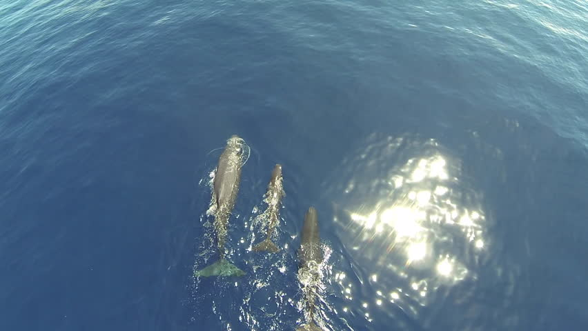 Aerial footage of  two sperm whales and a cub in Azores, Portugal.