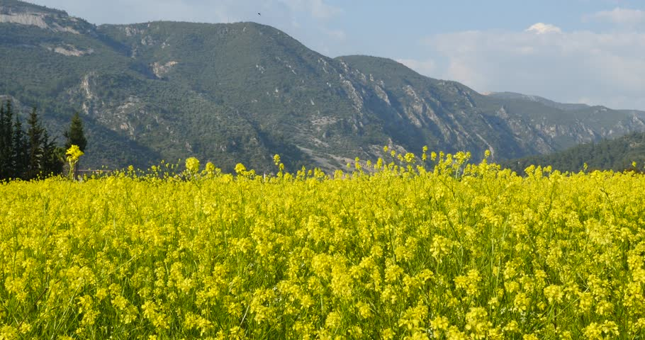 Stock video of yellow flower fields 4k spring blooming 25642571 4k0013yellow flower field spring summer birds rapa mightylinksfo