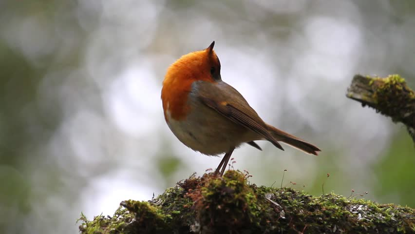 Robin is in an unusual position raising his head to the sky | Shutterstock HD Video #25577759