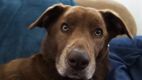 A cute brown household dog looks at the camera with his ears up in a curious manner.