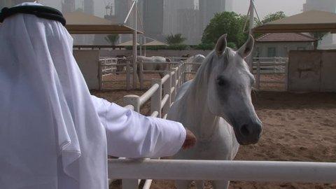 DUBAI, UAE - CIRCA 2008: Rear POV of an Emirati man at a paddock stroking the muzzle of a Gray Arabian thoroughbred at the Dubai Arabian Horse Stud farm. The farm produces many champions.
