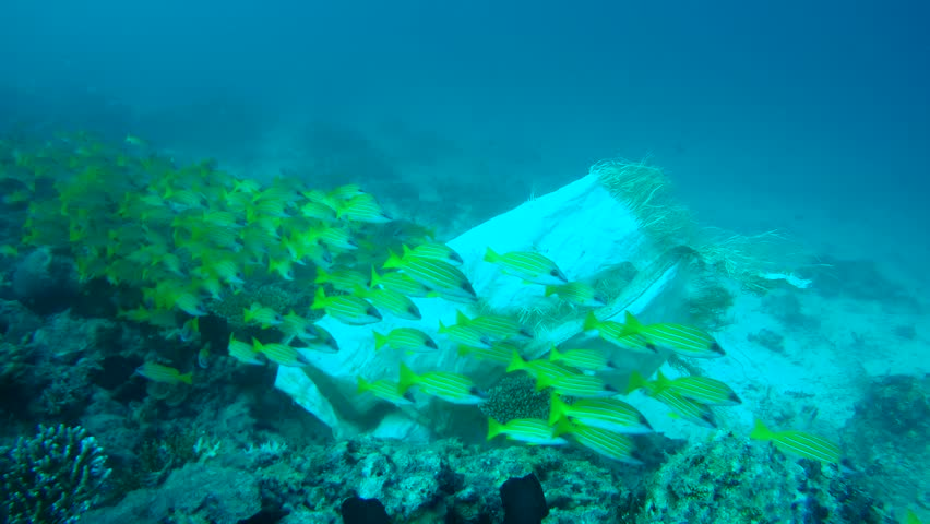 Beautiful school of fish Bluestripe Snapper (Lutjanus kasmira) swims next to the garbage bag, Indian Ocean, Maldives