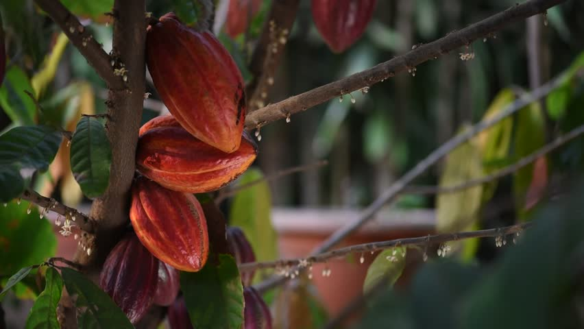 Red and orange cacao pods fruits on tree close-up. Agriculture chocolate cocoa farm