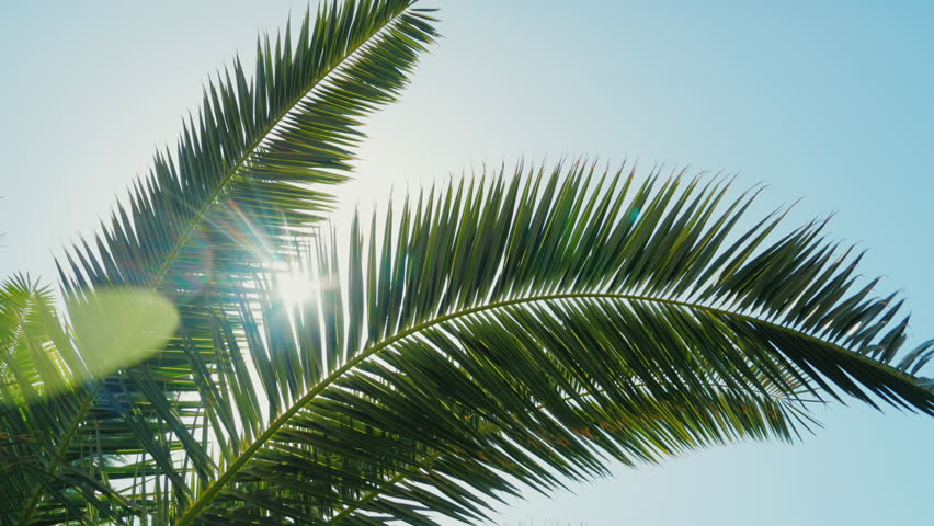 A sunny day in the warm South. The sun's rays make their way through the leaves of the palm tree. Lens flare effect | Shutterstock HD Video #25714769