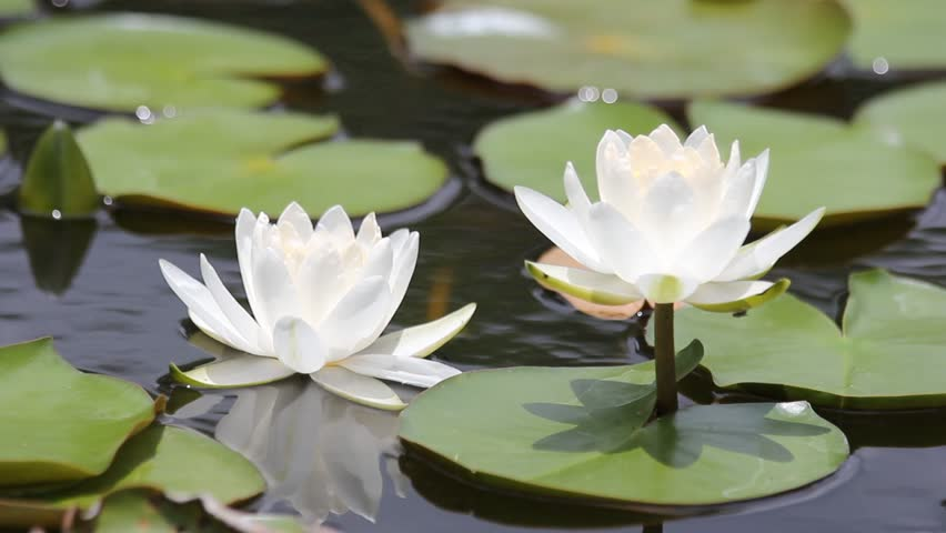 White Lotuswater Lily With Green Stock Footage Video 100 Royalty